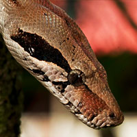Common Boa Thumbnail
