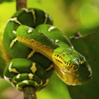 Emerald Tree Boa Thumbnail