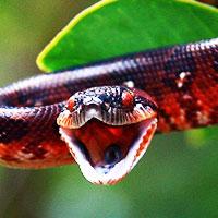 Madagascar Tree Boa Thumbnail