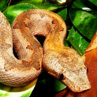Pacific Ground Boa Thumbnail