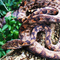 Pacific Tree Boa Thumbnail