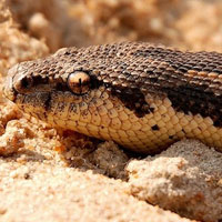 Rough Scaled Sand Boa Thumbnail