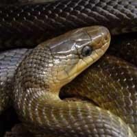 Aesculapian Rat Snake Thumbnail