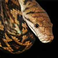Amethystine Python Thumbnail