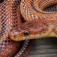 Bairds Rat Snake Thumbnail