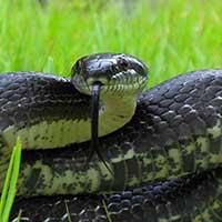 Black Rat Snake Thumbnail
