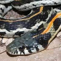 Black-necked-Garter-Snake