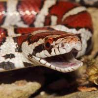 Milk Snakes