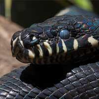 Boelens Python Thumbnail