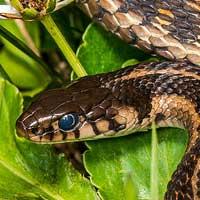 Garter & Gopher Snakes
