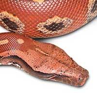 Borneo Blood Python Thumbnail