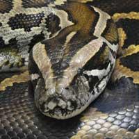 Burmese Python Thumbnail