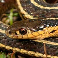 Butlers Garter Snake Thumbnail