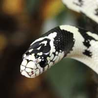 California Kingsnake Thumbnail