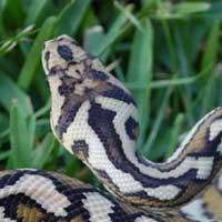 Coastal Carpet Python Thumbnail