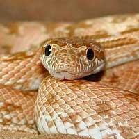 Diadem Rat Snake Thumbnail