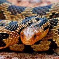 Eastern Fox Snake Thumbnail