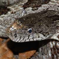 Gray Rat Snake Thumbnail