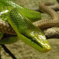 Green Rat Snake Thumbnail