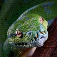 Python Snakes