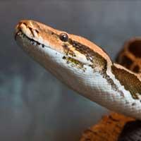 Indian Python Thumbnail