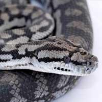 Inland Carpet Python Thumbnail
