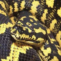 Jungle Carpet Python Thumbnail