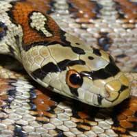 Leopard Rat Snake Thumbnail