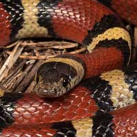 Louisiana Milk Snake Thumbnail
