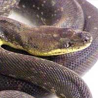Macklots Python Thumbnail