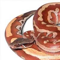 Malaysian Blood Python Thumbnail