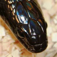 Mexican Black Kingsnake Thumbnail