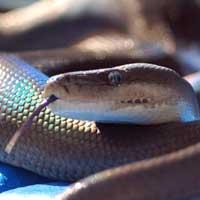 Olive Python Thumbnail