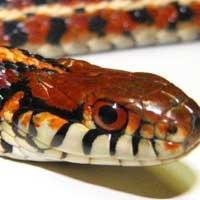 Plains Garter Snake Thumbnail