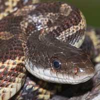 Texas Rat Snake Thumbnail