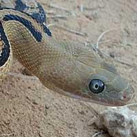Trans-pecos Rat Snake Thumbnail