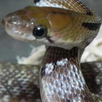 Trinket Rat Snake Thumbnail