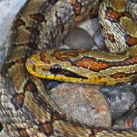 Twin-spotted Rat Snake Thumbnail