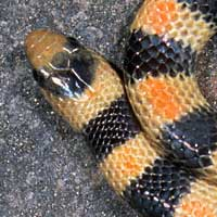 Variable Kingsnake Thumbnail