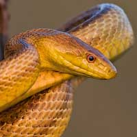 Yellow Rat Snake Thumbnail