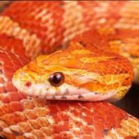 amelanistic-corn-snake-thumbnail