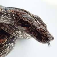 argentine-boa-constrictor-thumbnail-left