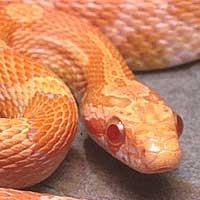 creamsicle-corn-snake-thumbnail