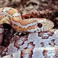ghost-corn-snake-thumbnail