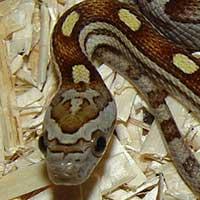 motley-corn-snake-thumbnail