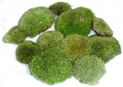 Live Terrarium Pillow Moss ⋆ Snakeestate