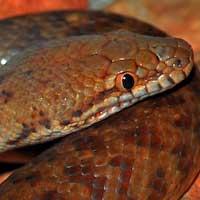 Pygmy Python Thumbnail