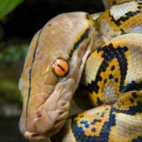 Reticulated Python Thumbnail