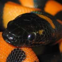 Ringed Python Boa Thumbnail