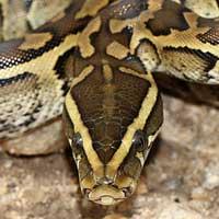 Rock Python Boa Thumbnail